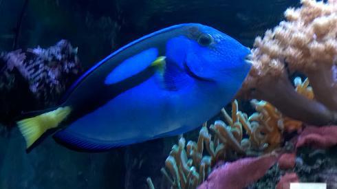 Что есть Хепатус, как не краеугольный камень морского аквариумиеводства?