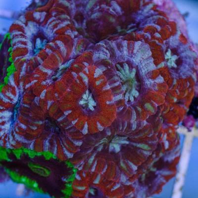 Л104  Акантастерия красная с голубым Acanthastrea lordhowensis 2000 (за 3 головы).jpg