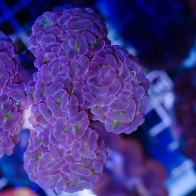 Л100 Эуфилия  молоточковая анкора ультра зеленая с фиолетовыми кончиками Anchor corals фраг 3-4 см 3300.jpg
