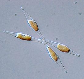 275px-Phaeodactylum_tricornutum.png