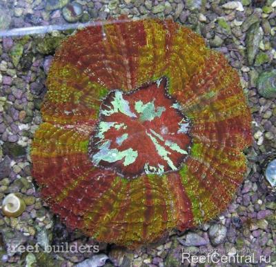 acanthophyllia-rainbow-2.jpg