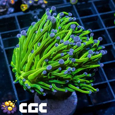 2_AQ Toxic Green Torch M_6500.jpg
