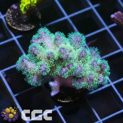 26_HC Blue Pocillopora_3500.jpg