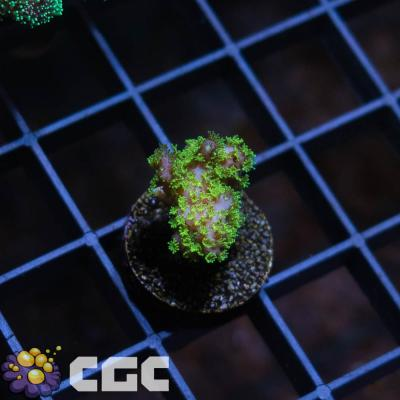 25_Green Pocillopora_500.jpg