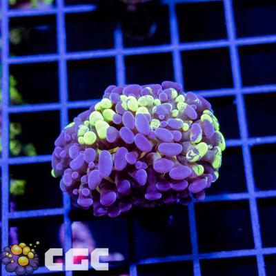 11_Grape Paraancora 2p_7500.jpg