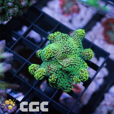 23_Green Pocillopora_1500.jpg