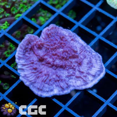 6_HC Perple Cap Monti_1000.jpg