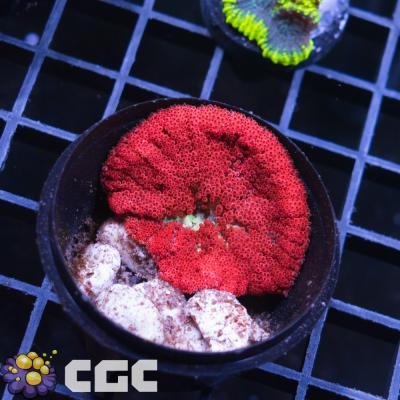 38_Bali Blood Red Mini Carpet Anemone_6500.jpg