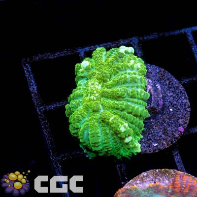 5_Green Rhodactis_1500.jpg