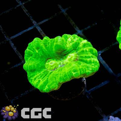 48_Toxic Green Caulastrea_1500.jpg
