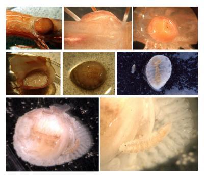 Isopod47.jpg
