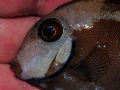 Ocean-surgeonfish-with-severe-HLLE-caused-by-activated-carbon-use.jpg