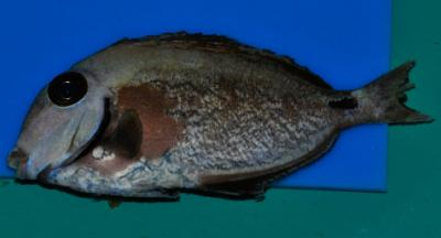 surgeonfish-with-HLLE-dusty-carbon-fed-NLS-8-29-2010.jpg