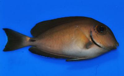 surgeonfish-with-no-visible-HLLE-control-fed-flakes-10-29-2010.jpg