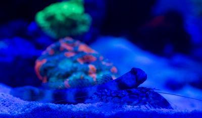 Goby+shrimp_0697w.jpg
