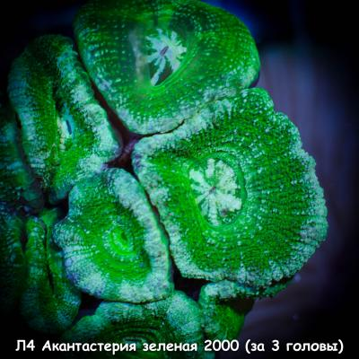 Л4 Акантастерия зеленая 2000 (за 3 головы).jpg
