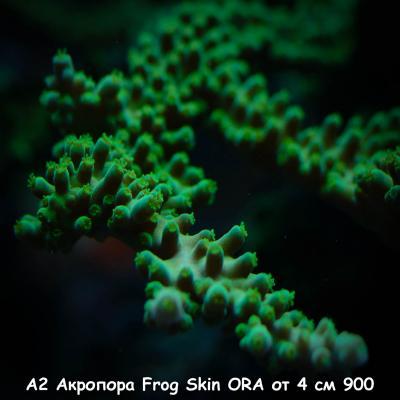 А2 Акропора Frog Skin ORA от 4 см 900.jpg