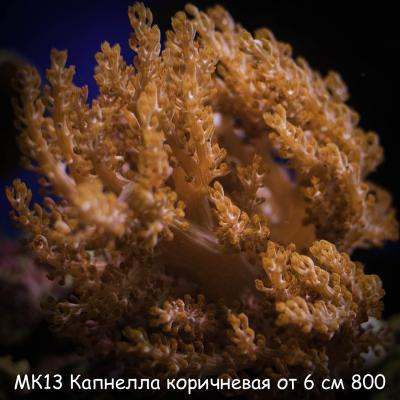 МК13 Капнелла коричневая от 6 см 800.jpg
