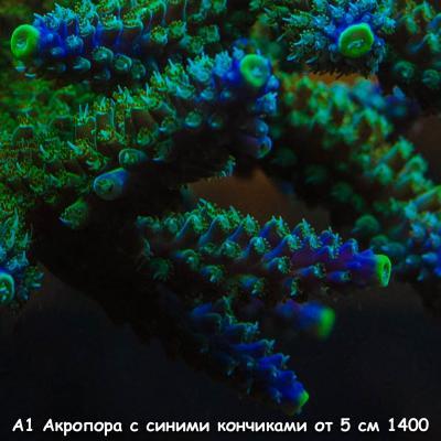 А1 Акропора зеленая с синими кончиками от 5 см 1400-2.jpg
