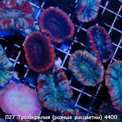 Л27 Трахифилия (разные расцветки) 4400.jpg
