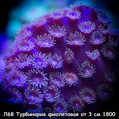 Л68 Турбинария фиолетовая от 3 см 1800.jpg