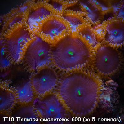 П10 Палитоя фиолетовая 600 (за 5 полипов).jpg