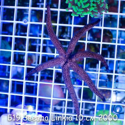 Б19 Звезда Linkia 10 см 2000.jpg