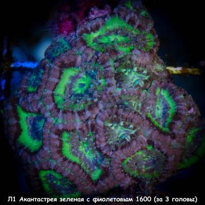 Л1 Акантастрея зеленая с фиолетовым Acanthastrea lordhowensis 1600 (за 3 головы).jpg