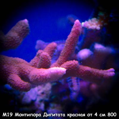 М19 Монтипора Дигитата красная от 4 см 800.jpg