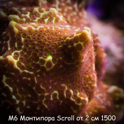 М6 Монтипора Scroll от 2 см 1500.jpg