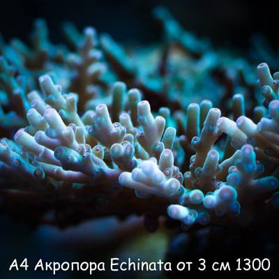 А4 Эхината от 4 см 1000-2.jpg