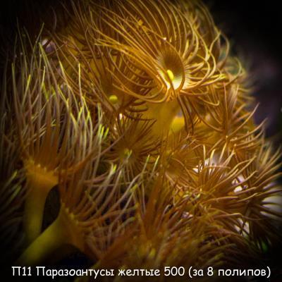 П11 Паразоантусы желтые 500 (за 8 полипов).jpg