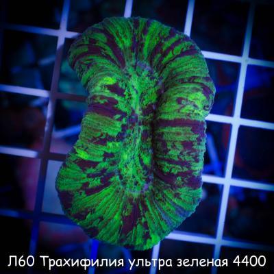 Л60 Трахифилия ультра зеленая 4400.jpg