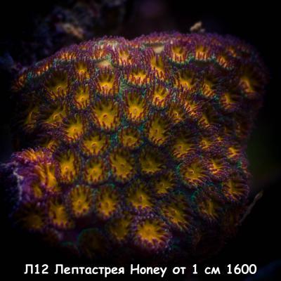 Л12 Лептастрея Honey от 1 см 1600.jpg
