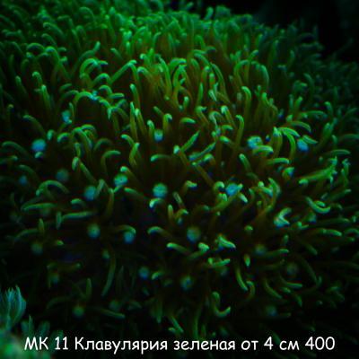 МК 11 Клавулярия зеленая от 4 см 400.jpg
