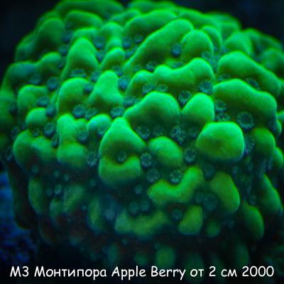 М3 Монтипора инкрустирующая Apple Berry от 2 см 2000.jpg