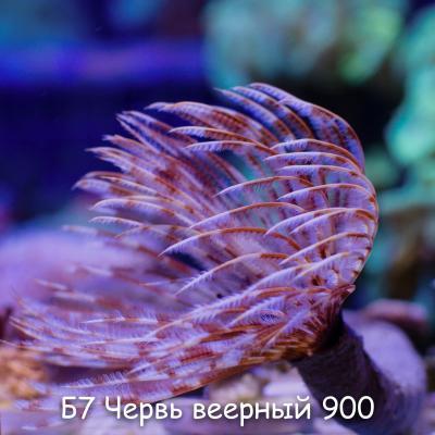 Б7 Червь веерный Spirographis spallanzanii 900.jpg