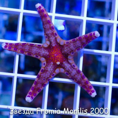 Звезда Fromia Monilis 2000-2.jpg