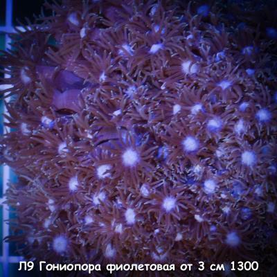 Л9 Гониопора фиолетовая от 3 см 1300.jpg