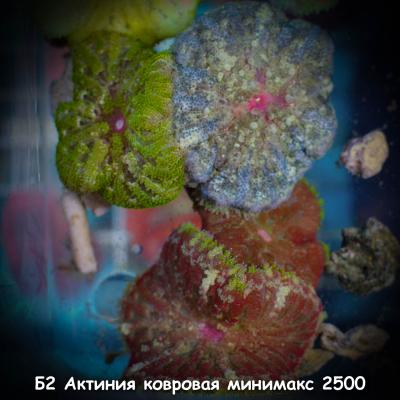 Б2 Актиния ковровая минимакс 2500.jpg