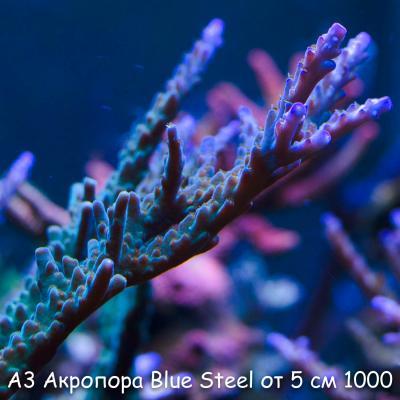 А3 Акропора Blue Steel от 5 см 1000.jpg