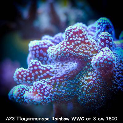 А23 Поциллопора Rainbow WWC от 3 см 1800.jpg