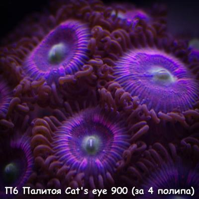 П6 Палитоя Сat's eye 900 (за 4 полипа).jpg