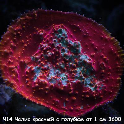 Ч14 Чалис красный с голубым от 1 см 3600.jpg