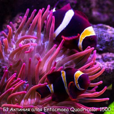 Б1 Актиния алая Entacmaea Quadricolor 1500.jpg