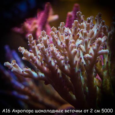 А16 Акропора шоколадные веточки от 2 см 5000-2.jpg