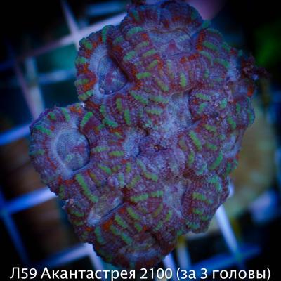 Л59 Акантастрея 2100 (за 3 головы).jpg