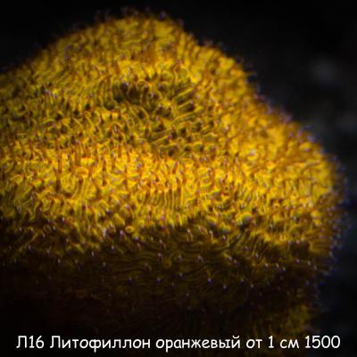 Л16 Литофиллон оранжевый от 1 см 1500.jpg