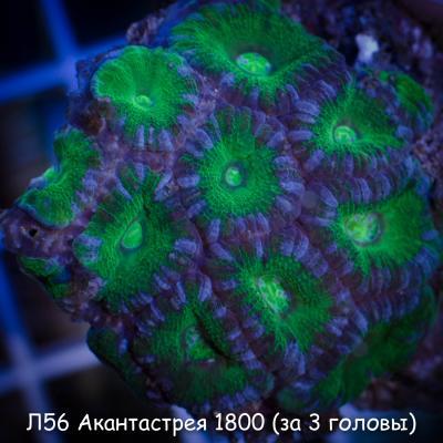 Л56 Акантастрея Acanthastrea lordhowensis 1800 (за 3 головы).jpg