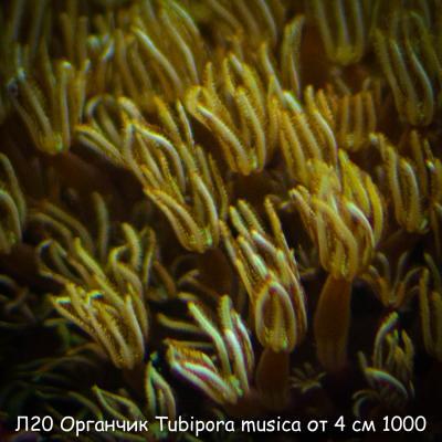 Л20 Органчик Tubipora musica от 4 см 1000-3.jpg